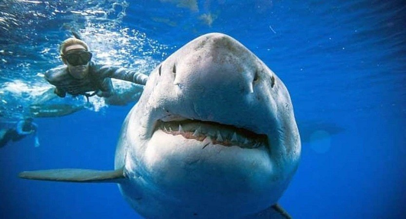 Great White Shark filmed with Divers